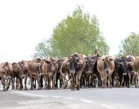 成群他的母牛群的亚美尼亚牛仔 库存照片