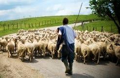 成群他的绵羊牧羊人 库存图片