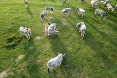 成群在春天领域的匈牙利灰色牛母牛 库存图片