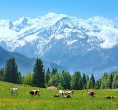 成群在沼地和勃朗峰山断层块视图的母牛 库存照片