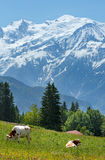 成群在沼地和勃朗峰山断层块(从Pla的看法的母牛 库存图片