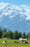 成群在沼地和勃朗峰山断层块(从Pla的看法的母牛 库存照片