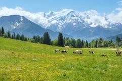 成群在沼地和勃朗峰山断层块(从Pla的看法的母牛 免版税库存图片