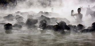 成群在热水的水牛在冬天 免版税图库摄影