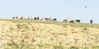 成群山羊的流浪者和狗在阿拉德附近在以色列 库存照片
