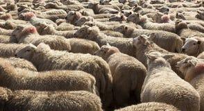 成群沿公共高速公路的牧羊人绵羊 免版税库存图片