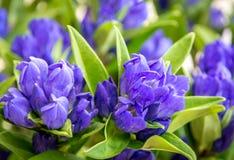 成群的植物- Gentiana triflora是一棵高,开花的四季不断的植物 库存图片