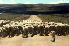 成群绵羊的狗 免版税库存图片