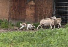成群绵羊的红色博德牧羊犬在一个老谷仓旁边 免版税库存照片
