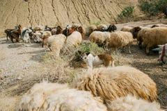 成群绵羊的群在午间太阳的护羊狗 免版税图库摄影