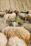 成群绵羊的群在午间太阳的护羊狗 免版税库存照片