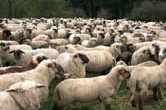 成群绵羊 免版税库存照片