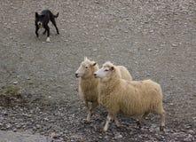 成群绵羊的博德牧羊犬 图库摄影
