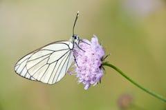 成脉络的黑色蝴蝶 免版税库存照片