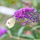 黑成脉络的白色蝴蝶 图库摄影