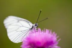 黑成脉络的白色蝴蝶Aporia crataegi宏指令  库存照片