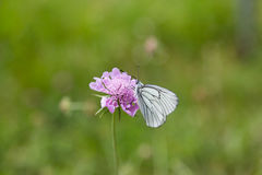 黑成脉络的白色蝴蝶Aporia crataegi画象  免版税图库摄影