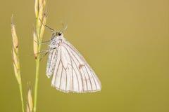 黑成脉络的飞蛾; Siona lineata 库存图片