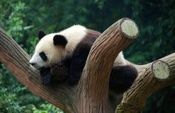 成都瓷大熊猫结构树 免版税库存图片