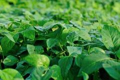 成长的绿色大豆植物 库存照片