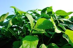 成长的绿色大豆植物 免版税库存图片