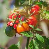 成长红色蕃茄 库存照片