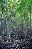 成长美洲红树,森林 图库摄影