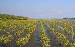 成长美洲红树 免版税库存图片