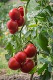 成长蕃茄 库存照片