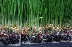 成长麦子 免版税库存图片