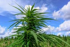 成长绿色大麻 库存图片