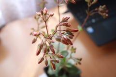 成长Kalanchoe blossfeldiana 库存照片