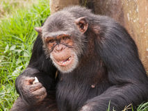 成年女性回到树和吃的黑猩猩就座 免版税库存照片