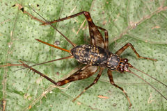 成年女性热带蟋蟀 库存图片