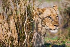 成年女性狮子在一棵高草掩藏 免版税库存图片