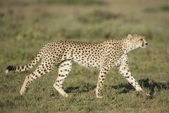 成年女性猎豹(猎豹属jubatus)坦桑尼亚 免版税图库摄影