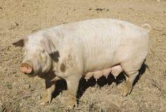 成年女性猪在猪围场 免版税图库摄影