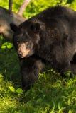 成年女性黑熊(美洲的熊属类)走左 库存照片