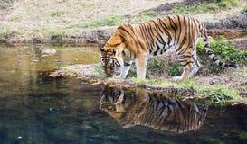 成年男性孟加拉老虎豹属底格里斯河底格里斯河 图库摄影