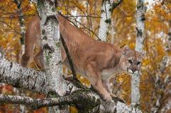 成年男性美洲狮美洲狮concolor在树蹲下 库存照片