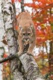 成年男性美洲狮美洲狮concolor步行沿着向下桦树分支 免版税库存图片