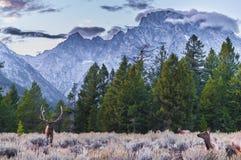 成年男性麋和他的牧群-盛大Tetons 免版税库存图片