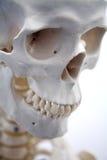 成年男性头骨 库存图片