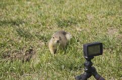 我们去除在摄像头的地鼠 库存图片