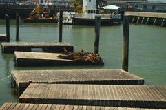 我们发现走沿船坞圣Franciaco 39的难以置信的海狮 旅行假日野生生物 免版税库存图片