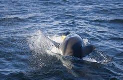 我们栓到开普敦的鲨鱼攻击的肉 库存图片