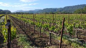 我们的家庭` s加伯奈葡萄酒葡萄酒葡萄园在纳帕谷 库存图片