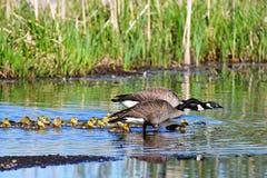 我们能看到全部幼鹅在5月 免版税图库摄影