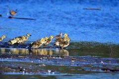 我们能看到全部幼鹅在5月 免版税库存照片