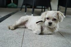 我可爱的小犬座小卵石 免版税图库摄影